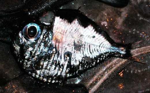 hatchetfish12.jpg