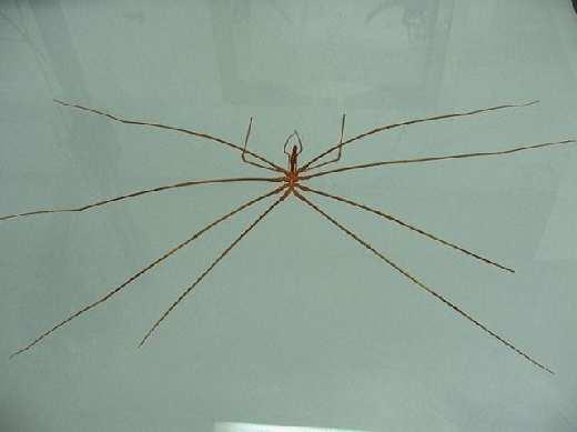 sea_spider20.jpg