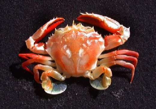 swimmer_crab19.jpg